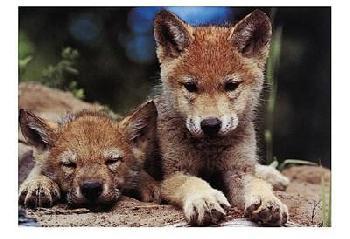 Art Kane Spring Wolf Pups