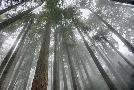 Alan Majchrowicz Fir Trees III