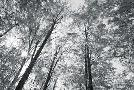Alan Majchrowicz Autumn Forest III Bw