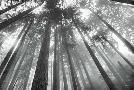 Alan Majchrowicz Fir Trees III Bw