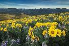 Alan Majchrowicz Methow Valley Wildflowers IV