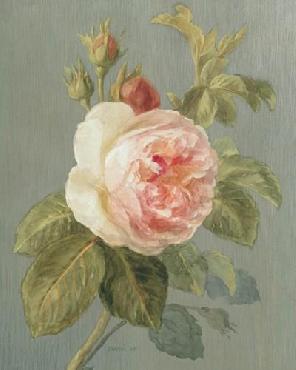 Danhui Nai Heirloom Pink Rose