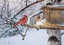 Marc Hanson Winter Favorites - Northern Cardinals