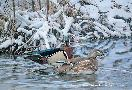 Jim Kasper Fickle Springtime - Wood Ducks