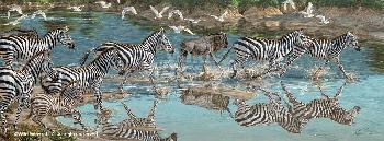 Lee Kromschroeder Zebra Canvas
