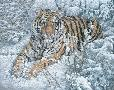 Lee Kromschroeder Snow Queen - Siberian Tiger