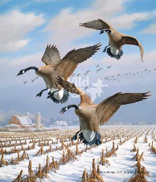 David Maass Winter Wonder - Canada Geese Remarque on Paper