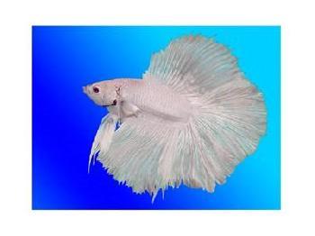 Anonymous White Betta Fish