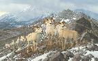 Michael Sieve Alpine Kings - Dall Sheep Prints