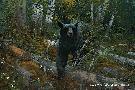 Michael Sieve Black Ghost - Black Bear