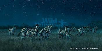 Michael Sieve Midnight on the Serengeti - Zebras