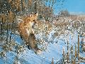 Michael Sieve Winter - Red Fox