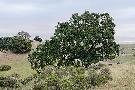 Alan Blaustein Oak Tree #108