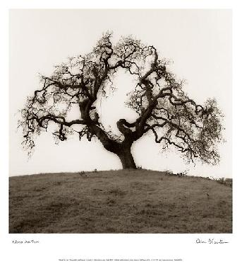Alan Blaustein Hillside Oak Tree