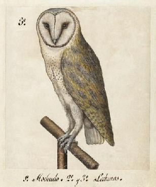 Anonymous Barn Owl, 1560 - 1585 Canvas Canvas