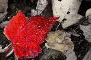 Cw Hetzer Red Leaf
