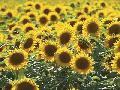 Cw Hetzer Sunflower 10