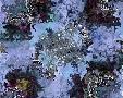Fractalicious Aquarius