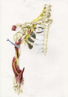 Lucy Loo Wales Brachial Plexus Canvas