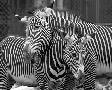 Mike Jones Photo Zebras