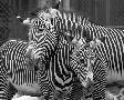 Mike Jones Photo Zebras