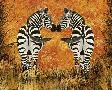 Tina Nichols Zebras