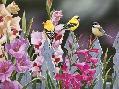 William Vanderdasson Feathered Friends And Gladiolus