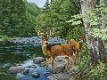 William Vanderdasson Streamside  -  White Tail Deer