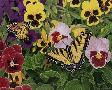 William Vanderdasson Butterflies And Pansies