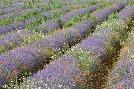 Brenda Tharp Rows Of Lavender In France