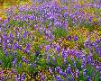 John Barger Carrizo Plain National Monument Lupine And Poppies