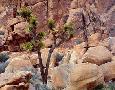 John Barger Lone Joshua Trees Growing In Boulders, Hidden Valley, C