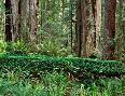 John Barger Prairie Creek Redwoods State Park, California