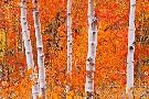 Russ  Bishop Bright Autumn Aspens Along Bishop Creek