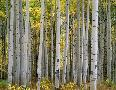 John Barger Aspen Displays Fall Color In The West Elk Mountains