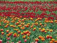 John Barger Field Of Colorful Tulips In Spring, Willamette Valley,