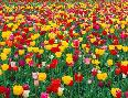 John Barger Field Of Bright Tulips In Spring, Oregon