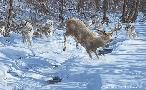 Scot Storm The Chase is On - Wolves Chasing Deer