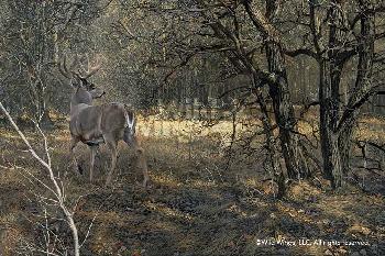 Scot Storm Monarch - Whitetail Deer Canvas