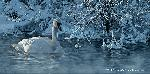 Scot Storm Winter Elegance - Trumpeter Swan