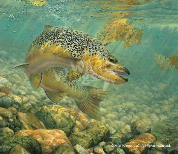 Mark Susinno Duped - Brown Trout Remarque on Paper