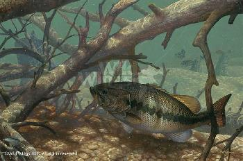 Mark Susinno Pick Up - Largemouth Bass Remarque on Paper