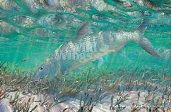 Mark Susinno Shallow Pursuit - Bonefish Remarque on Paper