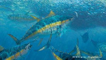 Mark Susinno Wrecking Crew - Yellow Fin Tuna Remarque on Paper