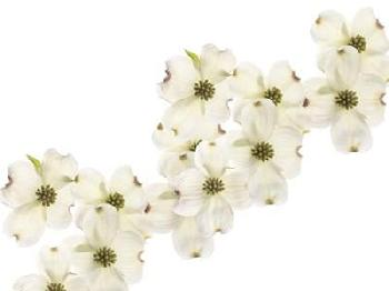 Susan Michal Dogwood Beauty