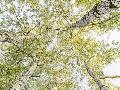Pangea Images Birch Woods In Spring