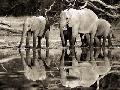 Frank Krahmer African Elephants, Okavango, Botswana