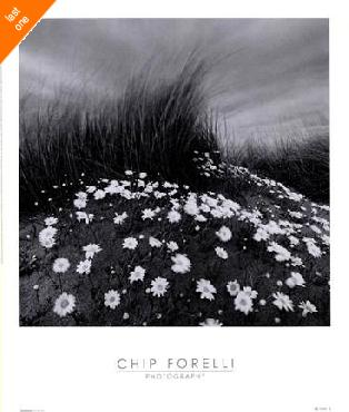 Chip Forelli Sand Daisies   LAST ONES IN INVENTORY!!