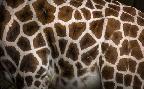 Duncan Giraffe