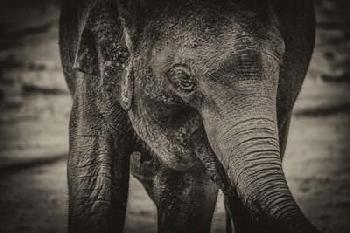 Duncan Young Elephant Sepia Canvas